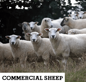 Commercial Sheep 280 x 265px