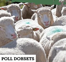 Poll Dorsets 280 x 265px